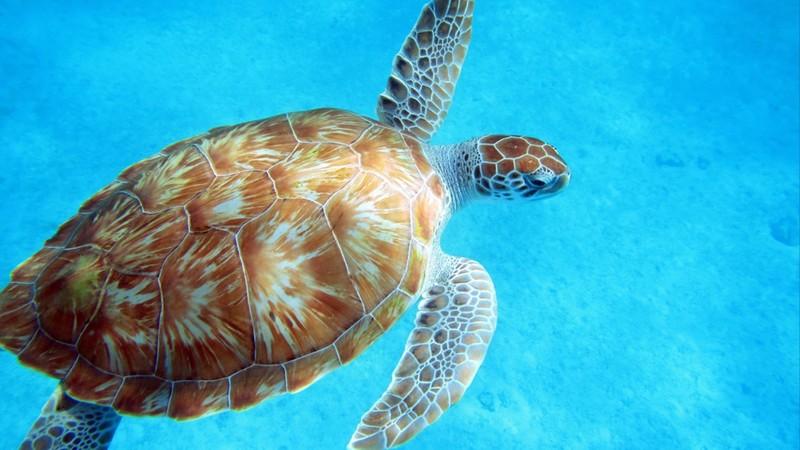 Sea Turtle in Barbados