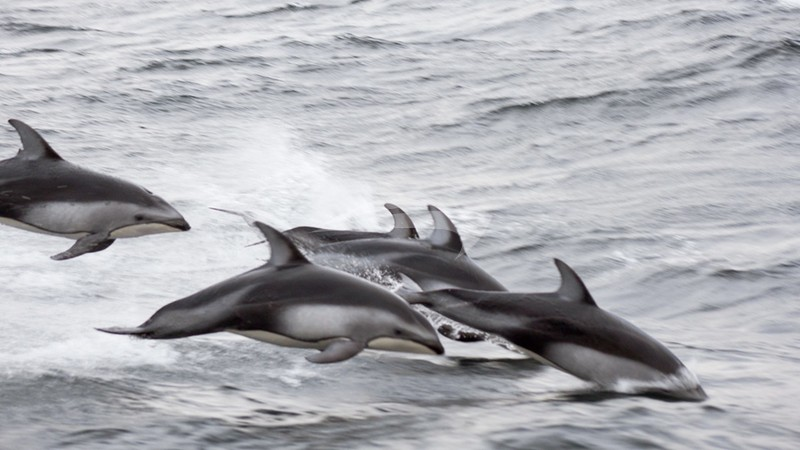 PACIFIC YELLOWFIN :: Pacific White-Sided Dolphins