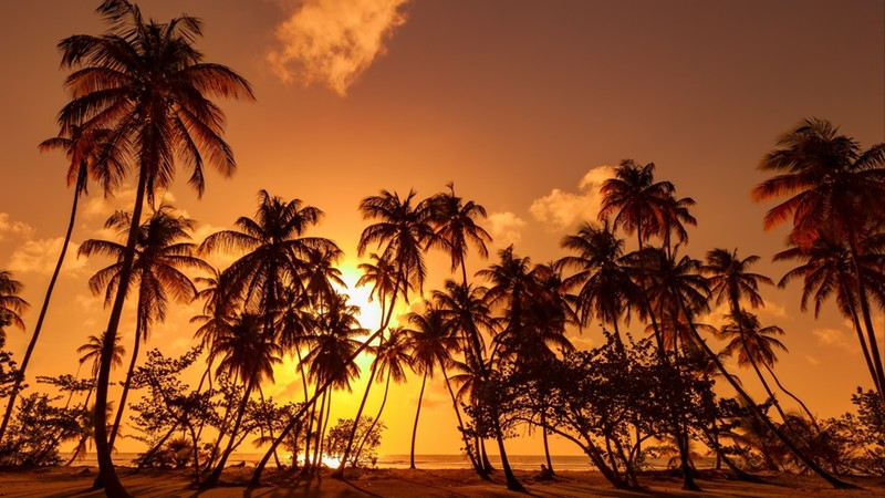 Panorama in Trinidad and Tobago, silhouette of coconut palm trees on colorful sun set