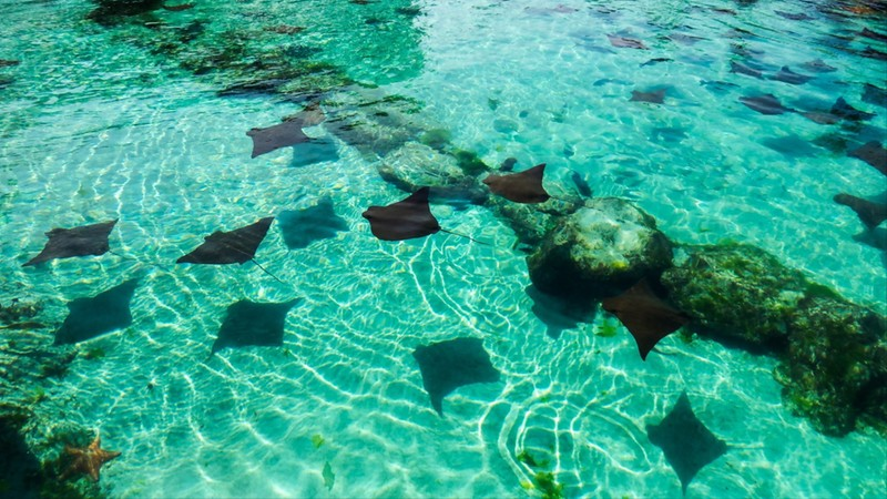 A lot of rays in a crystal clear water pond