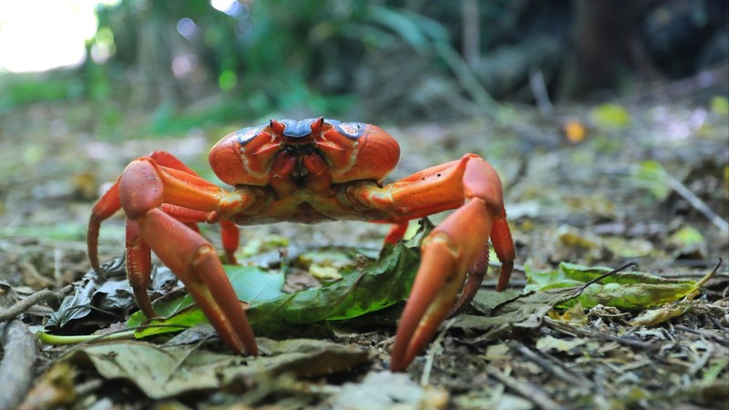 A single red crab on Christmas Island, an Australian territory
