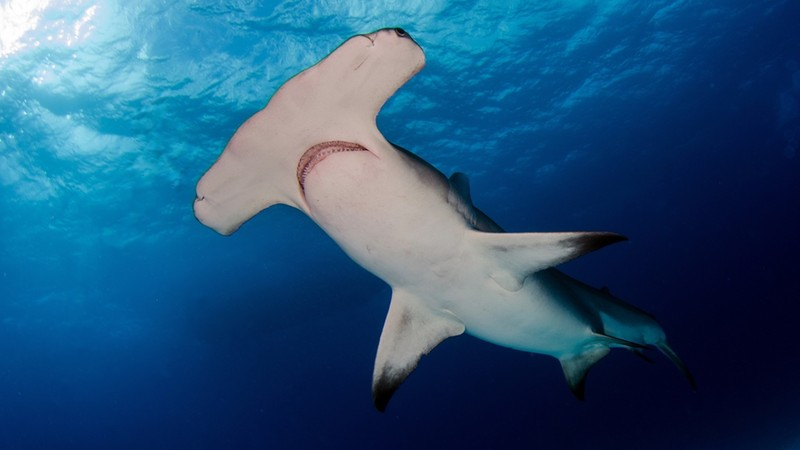 Great Hammerhead Shark - Bimini Island