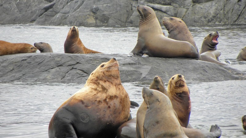 PACIFIC YELLOWFIN :: Sea Lions