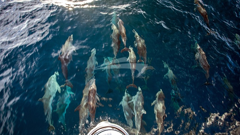 BELLINE II :: A pod of Dolphins coursing before Belline's bow